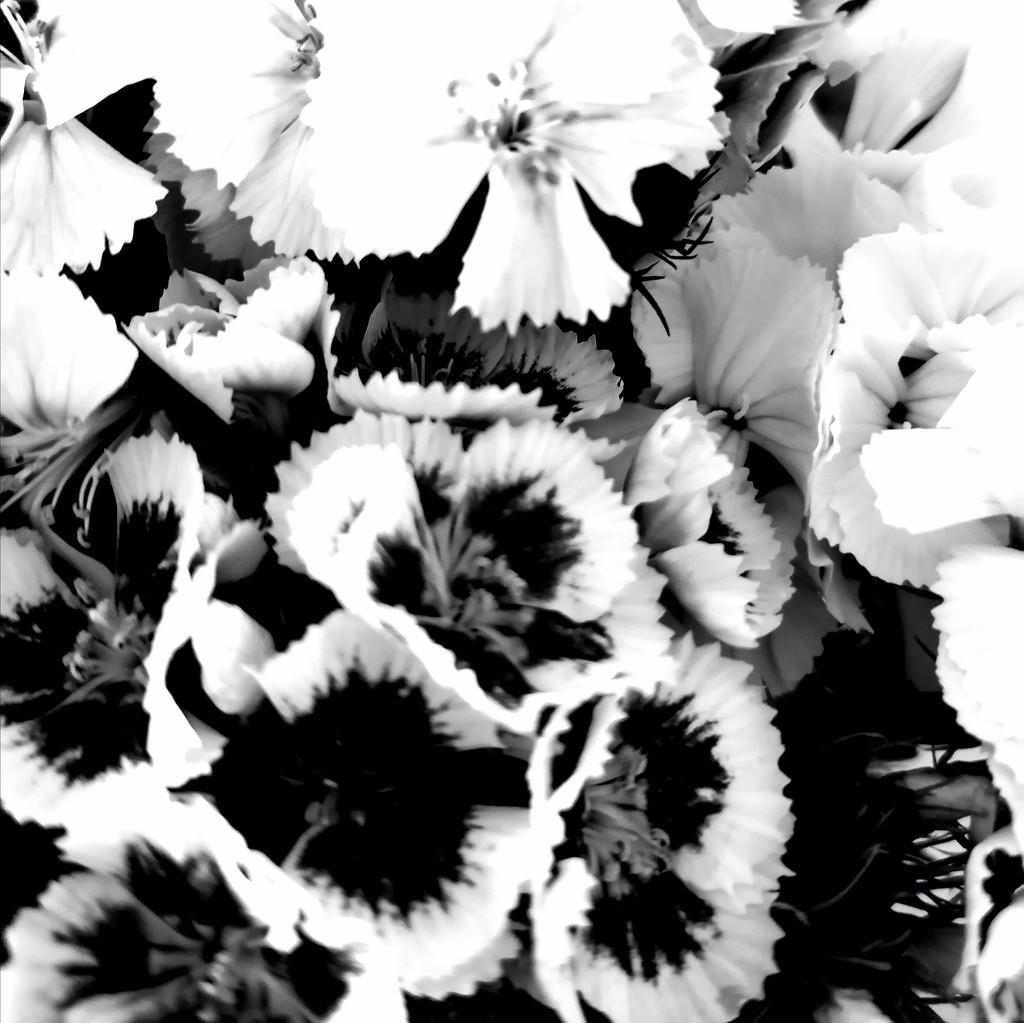 Sweet William monochrome  by chesney_7