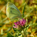 cabbage white butterfly on clover