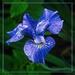 Blue Iris by gardencat