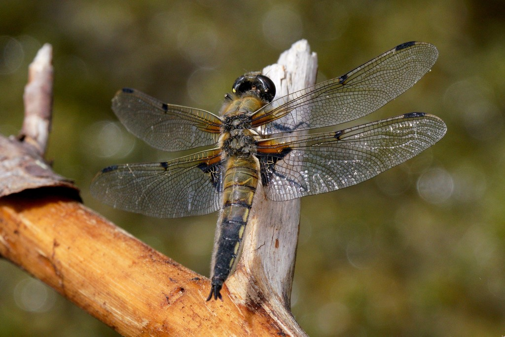 ANOTHER FOUR SPOTTED CHASER by markp