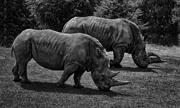 7th Jun 2021 - 0607 - White Rhinoceros