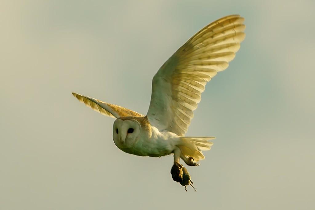 Barn Owl with prey. by padlock