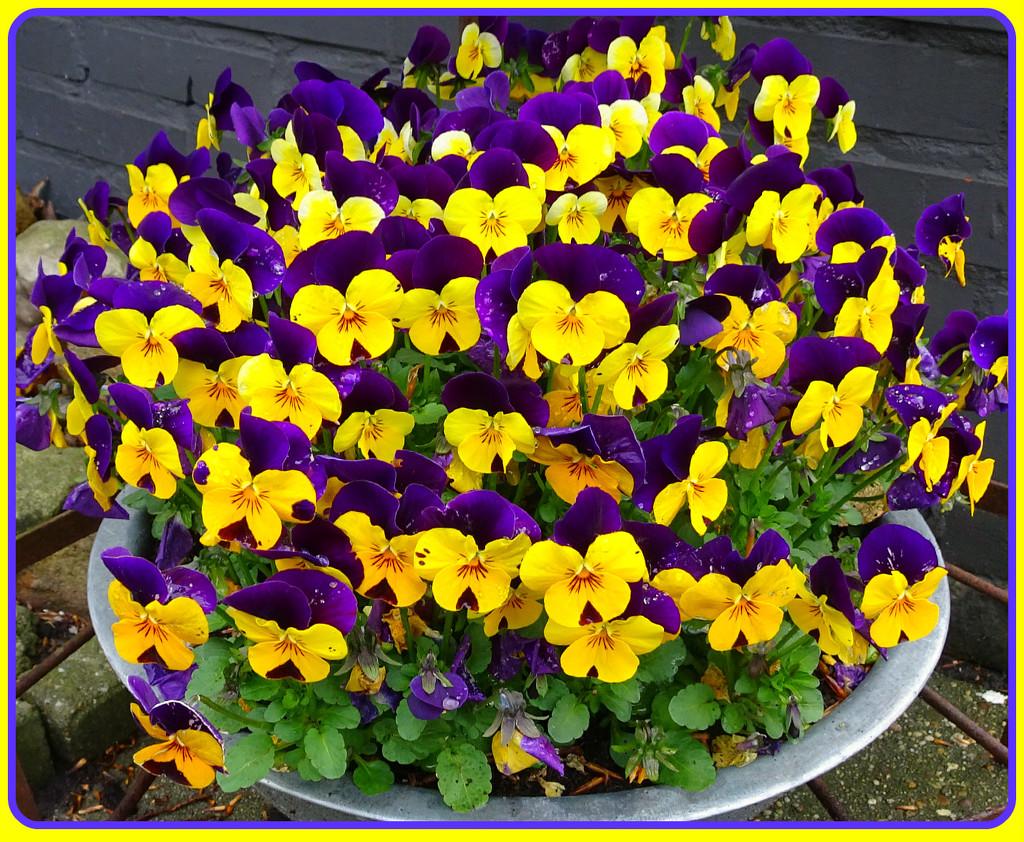 a bowl full of violets by gijsje