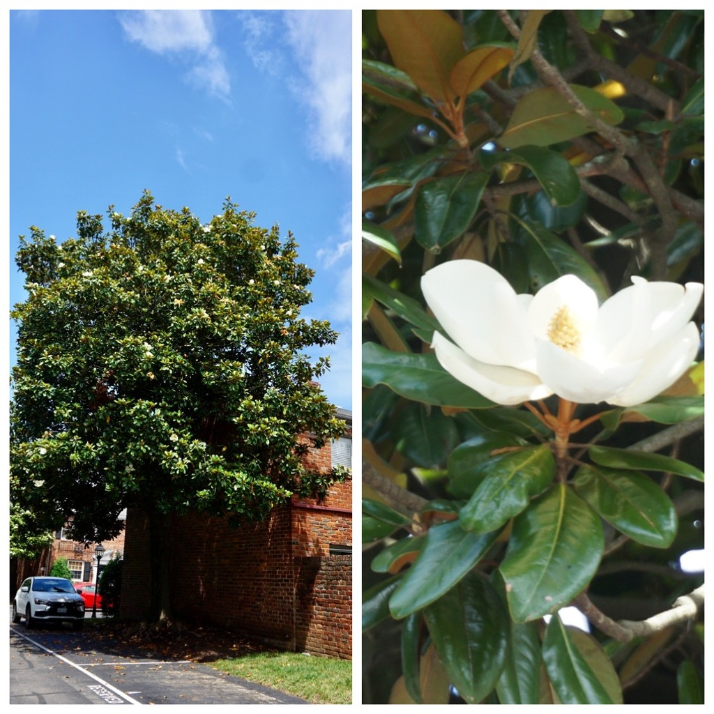 Southern Magnolia by allie912