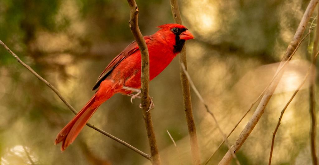 Mr Cardinal Keeping an Eye on the Mrs.! by rickster549