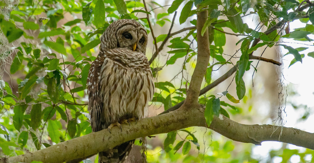 Barred Owl Getting Ready for Night Time! by rickster549