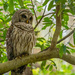 Barred Owl Getting Ready for Night Time!