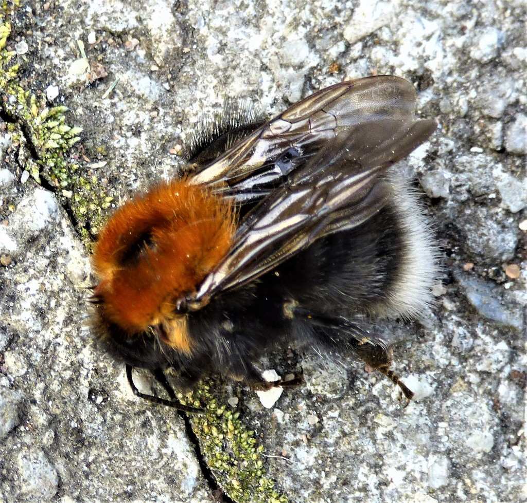 Bumble Bee  by beryl