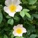 Summer.. dog roses
