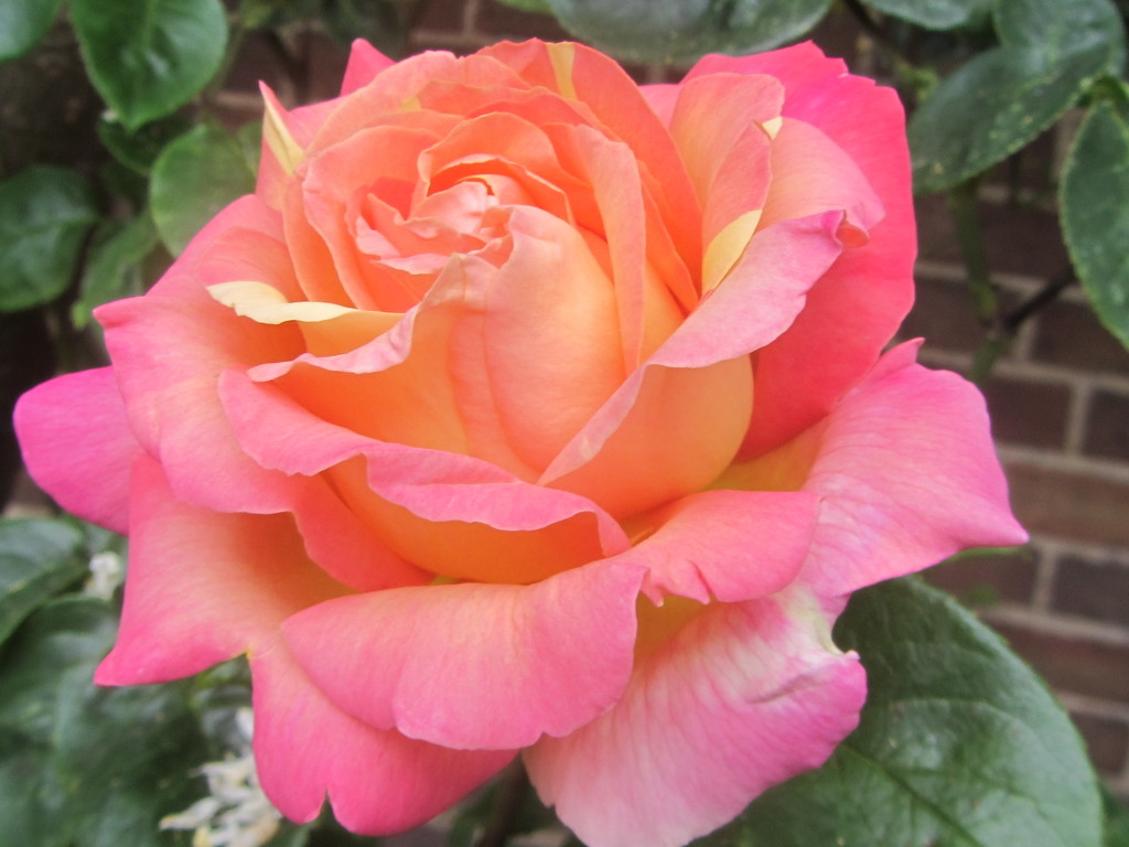 Rose in the Church garden. by grace55