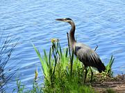12th Jun 2021 - Great Blue Heron
