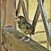SOS Call by Baby Blackbird
