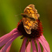 silvery checkerspot butterfly and coneflower