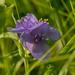 blue jacket spiderwort