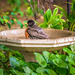 another robin taking a bath