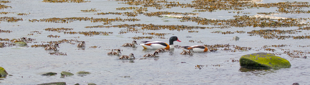 Shelduck Family by lifeat60degrees