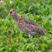 Curlew by lifeat60degrees