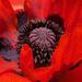 Inside the poppy