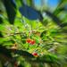 Cherry tree by evgeniamsk
