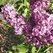 Deeper Lilac