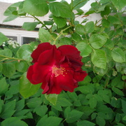 12th Jun 2021 - Red Rose Day