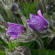 9th Jun 2021 - 0609 - Flowers in the rain