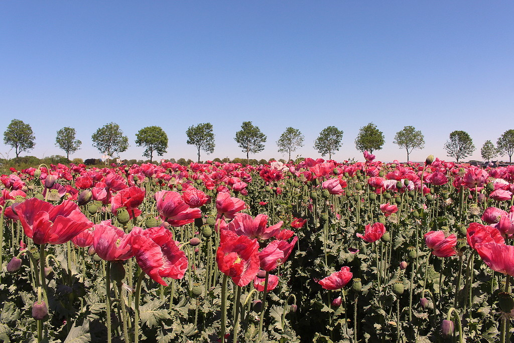 More poppies  by pyrrhula