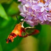 12th Jun 2021 - Humming Bird Moth