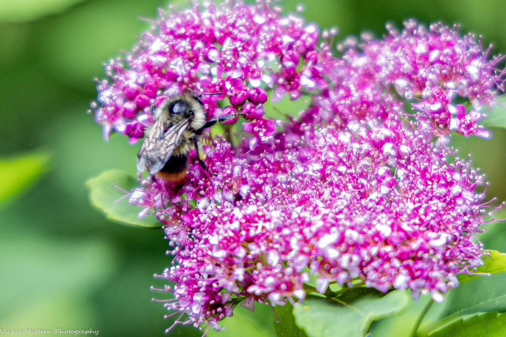 Busy Bee by vickiem