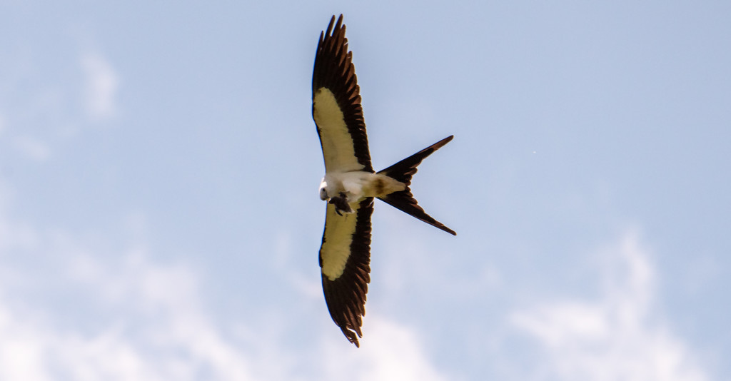Swallowtail Kite With It's Meal! by rickster549