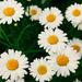 Daisy Fever