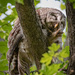 Barred Owl Cleaning His Foot
