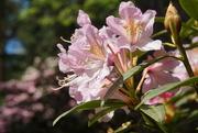 13th Jun 2021 - pink azalea and bokeh...
