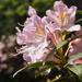 pink azalea and bokeh...