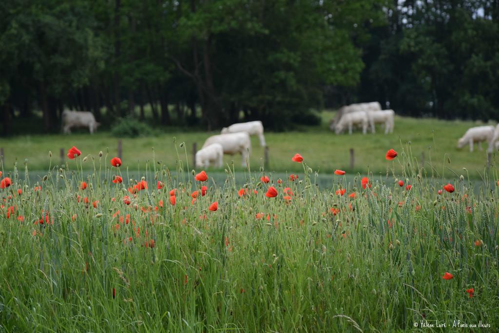 Poppies by parisouailleurs