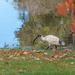 Ibis at the pond