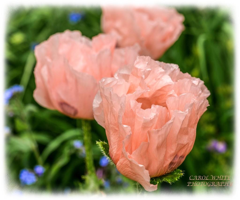 Poppies by carolmw