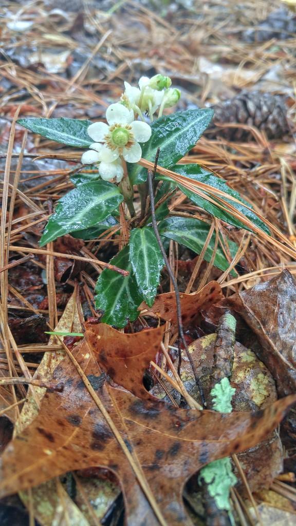 Chimaphila maculata... by marlboromaam
