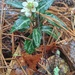 Chimaphila maculata...