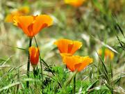 13th Jun 2021 - Hillside Poppies