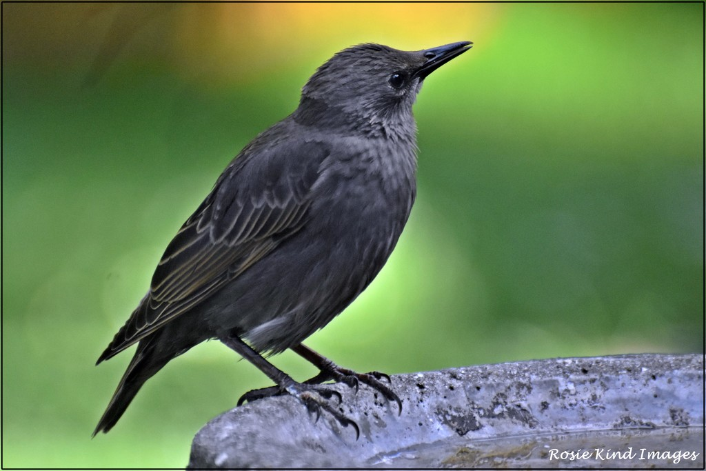 Young starling on the birdbath by rosiekind