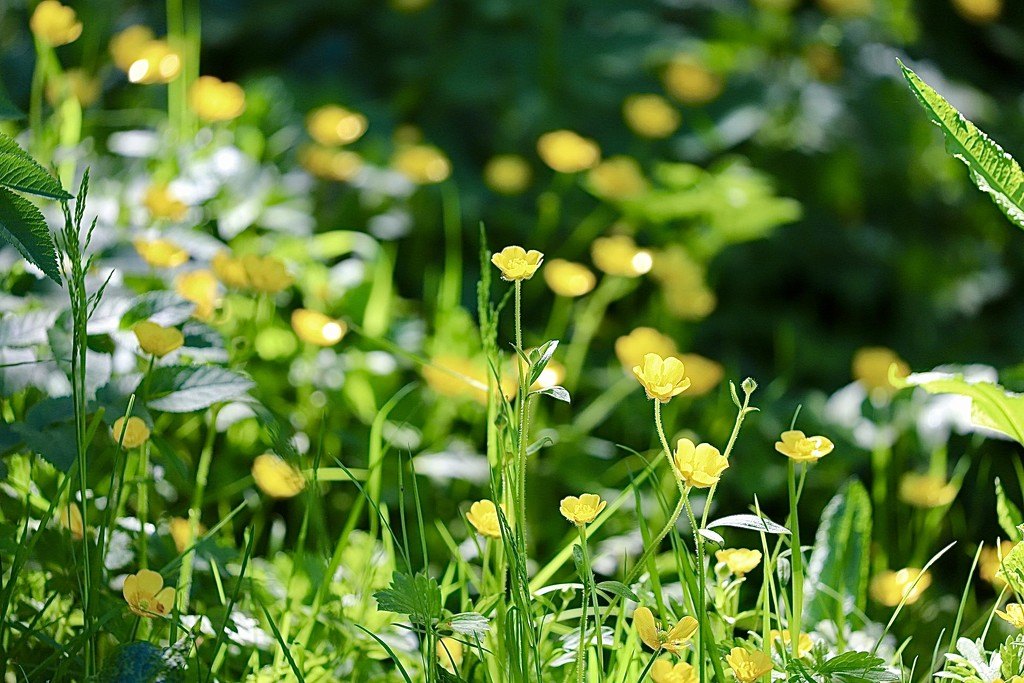 Buttercups by carole_sandford