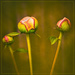 a family of peony buds