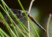 4th Jun 2021 - Dragonfly Hiding