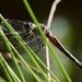 Dragonfly Hiding