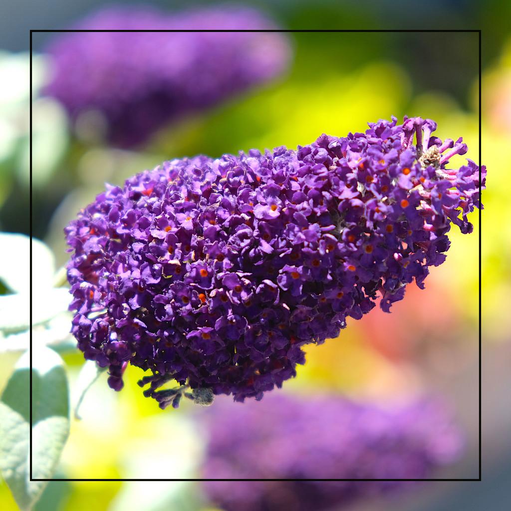 Butterfly Bush by redy4et