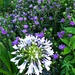 Agapanthus (Nile blue lily) and stochesia