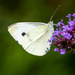 Cabbage White on Flower with Shadows