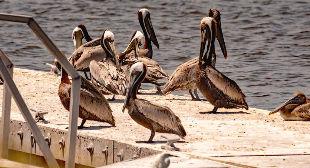 The Pelicans Were Taking a Break! by rickster549