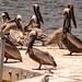 The Pelicans Were Taking a Break!